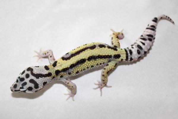 Mack Bold Stripe Male