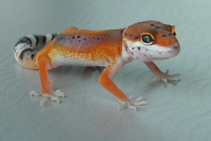 Selection of Breeders and Quality Management in Leopard Geckos