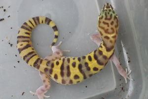 The Gecko Who Wouldn't Quit