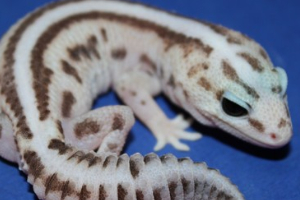 African Fat-tail Gecko Morph Guide