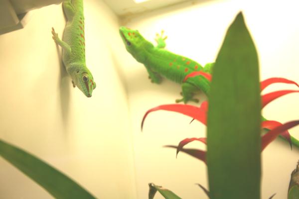 Gecko Ranch day geckos