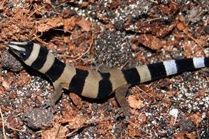 Three to Get Ready: Sphaerodactylus