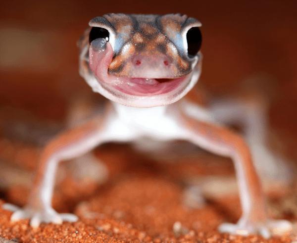 Nephrurus vertebralis -  Midline Knobtail Gecko.indexed