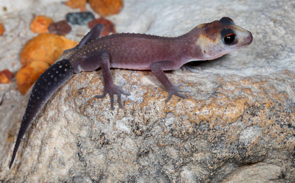 Underwoodisaurus milii - Patternless Thick-tailed Gecko