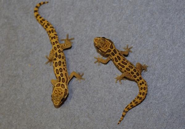 Pachydactylus oculatus - juveniles large form