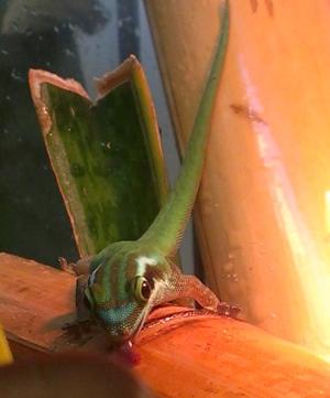 Phelsuma inexpectata