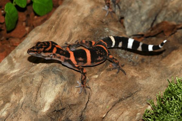 Goniurosaurus orientalis
