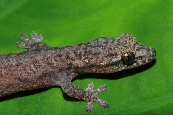 Three to Get Ready: Parthenogenetic Geckos