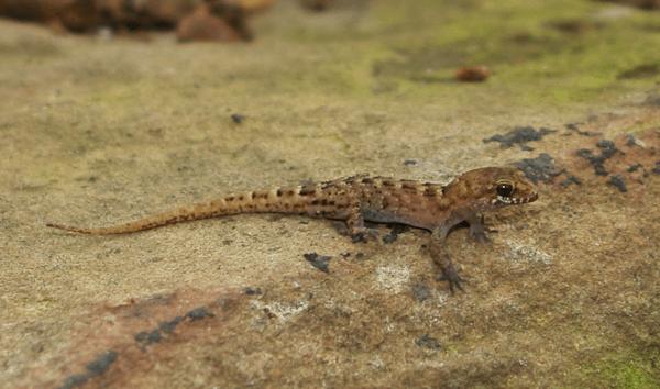 Nactus pelagicus