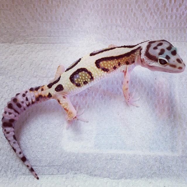 bold stripe leopard gecko