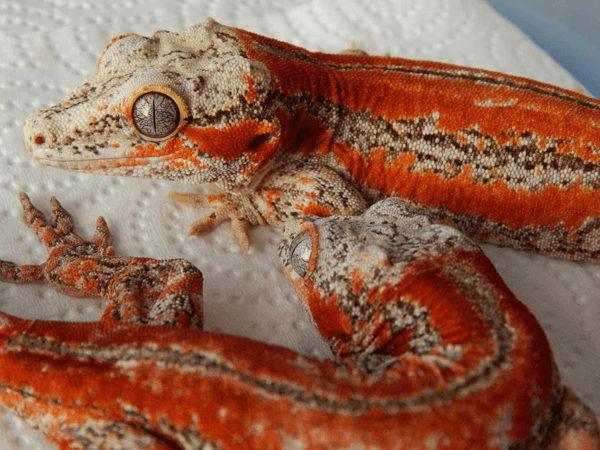 Red gargoyle geckos