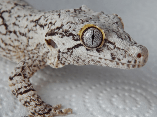 Reticulated gargoyle gecko