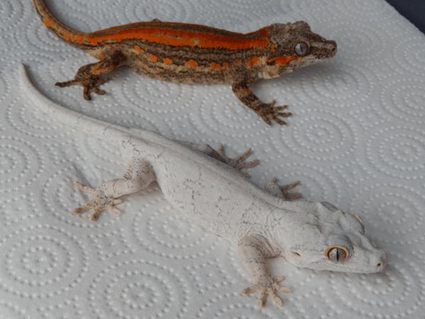 Red and white gargoyle geckos