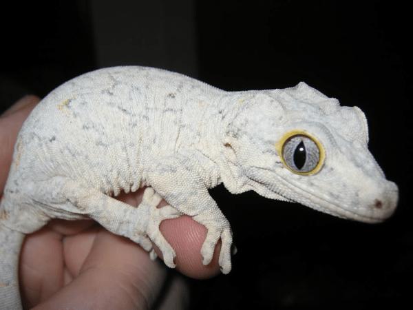 White gargoyle gecko