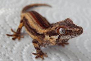 Three to get Ready: Rhacodactylus