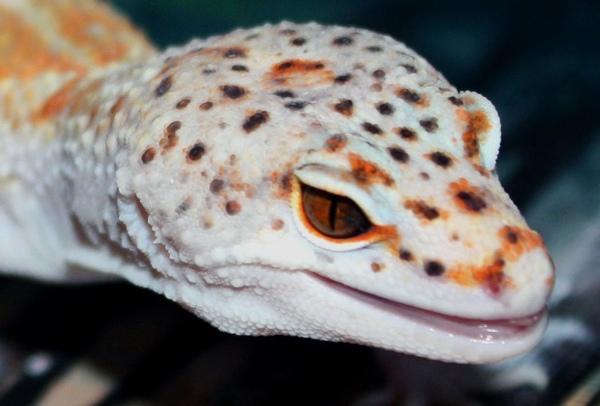 Engima Leopard Gecko