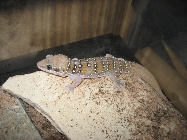 Hemidactylus subtriedrus - light