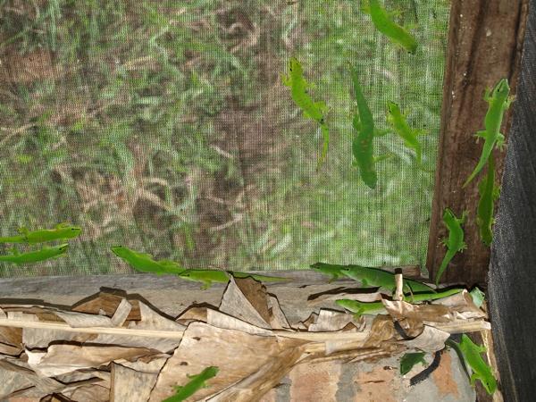 Wild caught giant day geckos