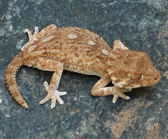 Geckonia chazalae - female