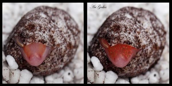 (F)strawberrygecko