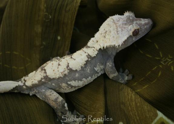 crested-gecko-light