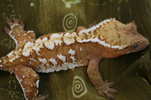 Some Thoughts About Crested Gecko Breeding