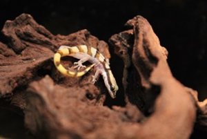 Keeping Microgecko persicus euphorbiacola