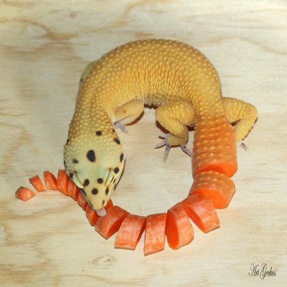 Super hypo true carrot tail