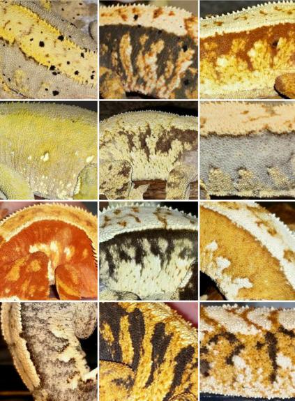Crestie Species Variation by Tom Favazza