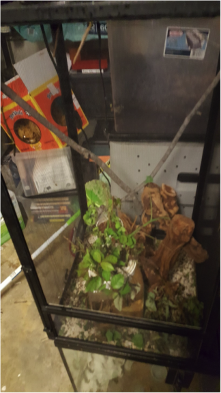 Stick insects and enclosure